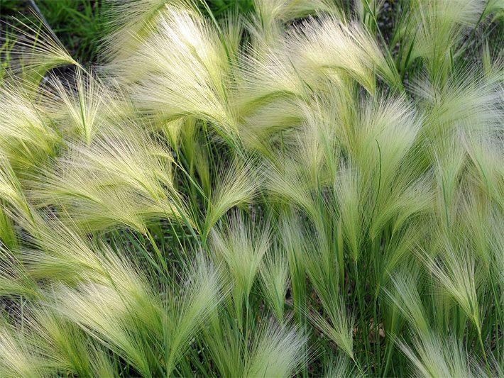 Winterharte Gräser Garten bild einem beet mit blühender mähnengerste blumen stauden