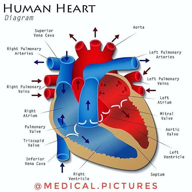 Another beautiful diagram of the human heart schematic the last another beautiful diagram of the human heart schematic the last diagram had some misguiding issue ccuart Images