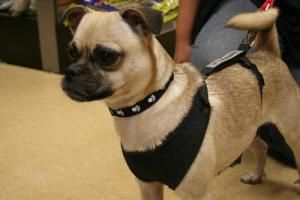 A Foster Needed Is An Adoptable Pug Puggle Dog In London Ontario Puggle Dogs Furry Friend