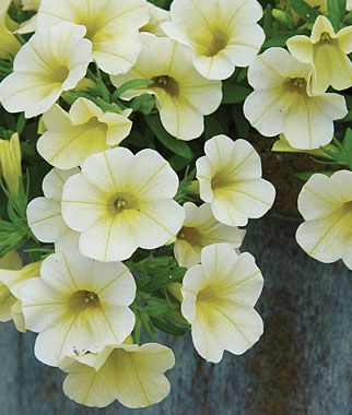 Petunia Baby Duck Nonstop Waves Of Darling Blooms In Powder White W Lemon Yellow Centers There Is No Other Petunia Petunia Flower Petunias Annual Flowers
