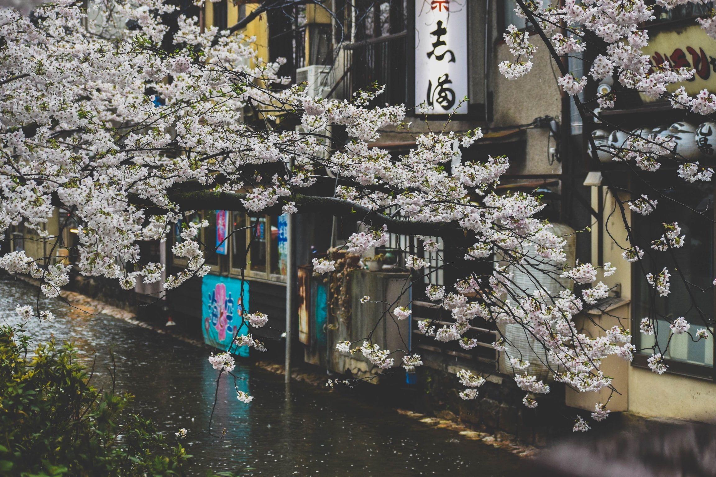 Japan Street Plants Rain Urban Cherry Blossom 1080p Wallpaper Hdwallpaper Desktop Cherry Blossom Wallpaper Desktop Wallpaper Wallpaper