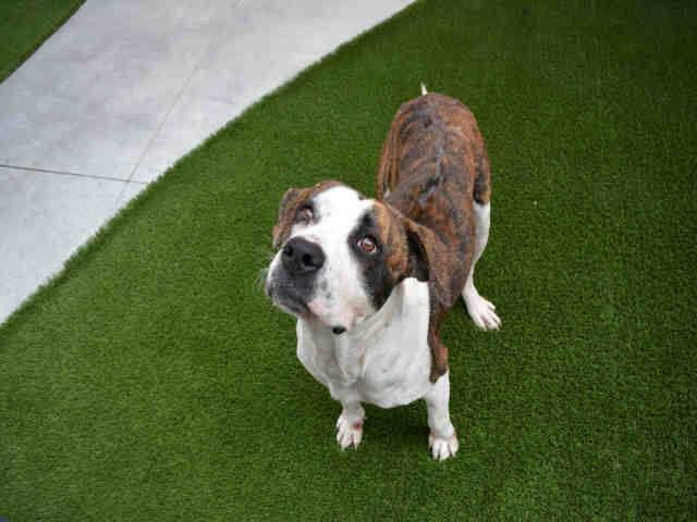 Code Red R Ni Am A Spayed Female Brown Brindle And White American Bulldog Mix R N R Nthe Shelter Staff Thinks I A Dogs American Bulldog Mix Pets
