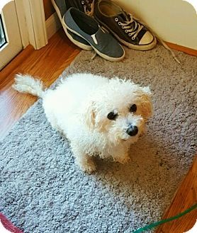 Pictures Of Chloe A Poodle Miniature Mix For Adoption In St
