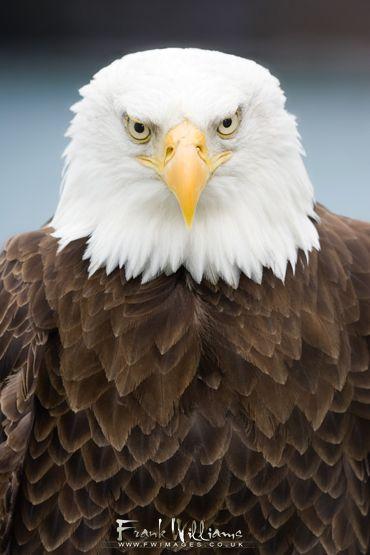 404 Not Found Bald Eagle Beautiful Birds Eagles