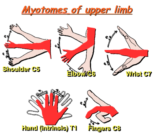 Myotome (upper limb) | Knowledge of Physiotherapy ... Upper Extremity Myotomes
