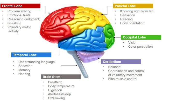 Pin by RtripleX on Biology of the Body | Brain anatomy ...