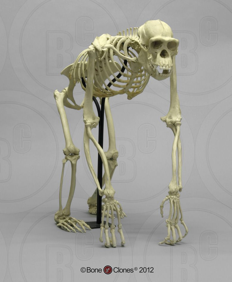 skeletal articulation | Chimpanzee Skeleton Articulated, Bipedal and ...