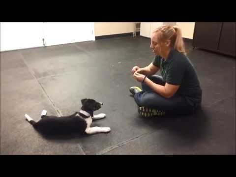 Training A Border Collie Puppy Youtube Collie Puppies Training Your Puppy