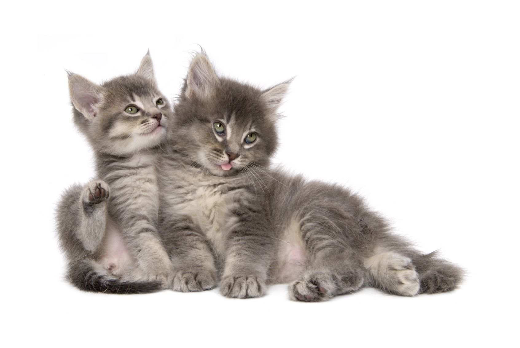 Oh The Joy Of A Kitten Or Two Or Three A Whole Litter Can Be Lots Of Fun But Oh Those Sharp Kitten Claws They Have Soft Paws Cats Cat
