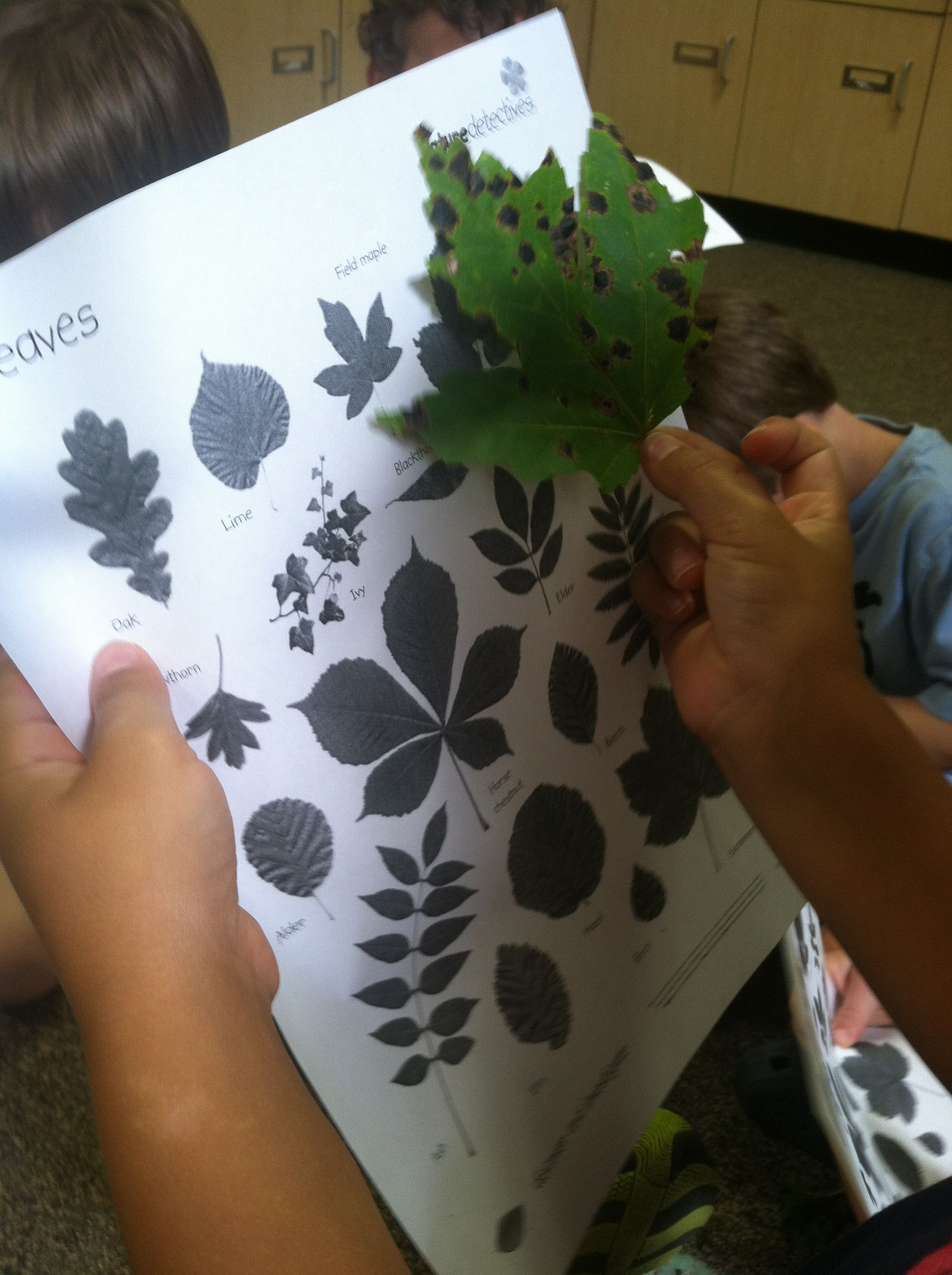 Kindergarten Leaf Identification
