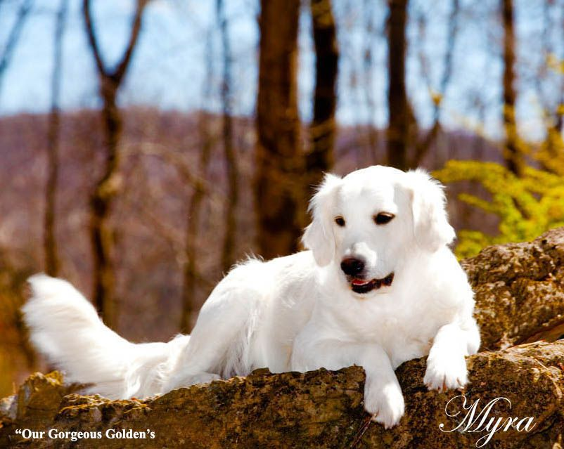 White Golden Retriever Pups Holistic Breeder Akc Certified For