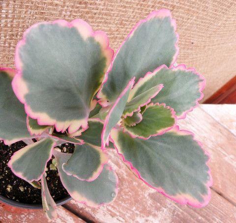 "2/"" Bryophyllum fedtschenkoi /'Variegata/' or /'Aurora Borealis/'"
