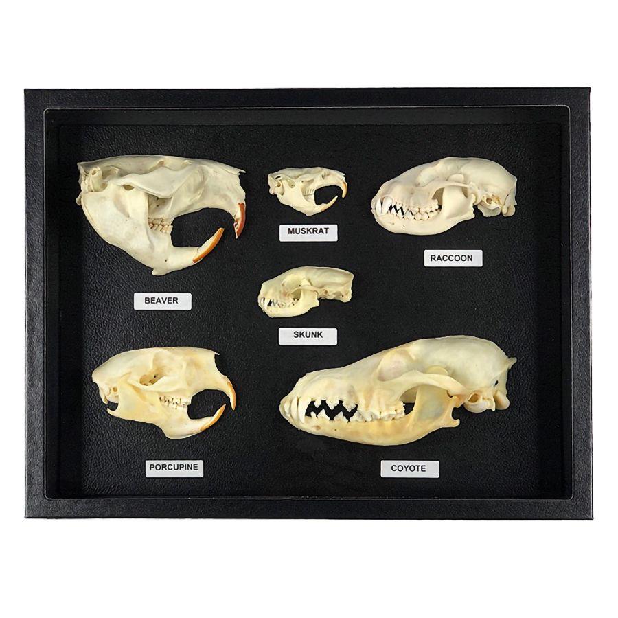 Joseph S Collection Still Skull And Bones Animal Bones Raccoon Skull