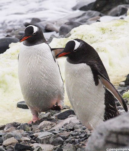 TODAY'S PENGUIN PIC: Cuverville Is. #Antarctica