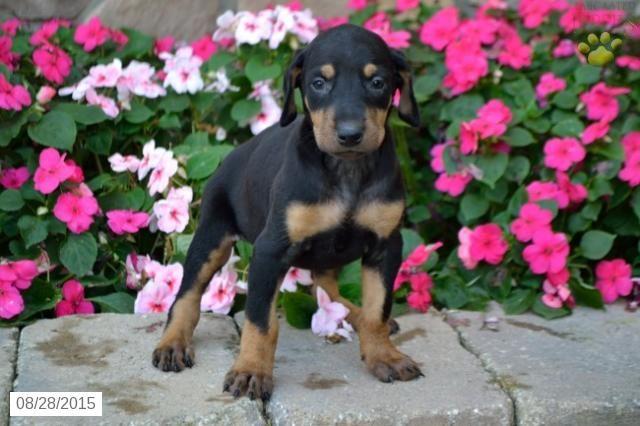 Doberman Pinscher Puppy For Sale In Ohio Doberman Pinscher Puppy
