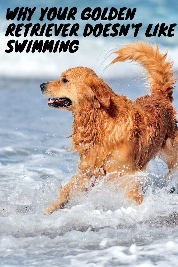 Why your Golden Retriever doesn't like swimming | Golden ...