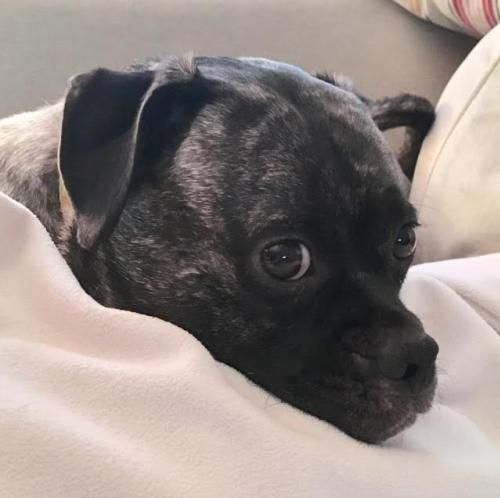 Buggs Dog For Adoption In Brooklyn Park Mn Adn 558634 On