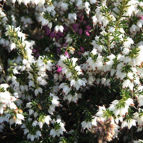 Erica Darleyensis Silberschmelze Jeune Plante En Motte Bruyere D Hiver Erica Darleyensis Kramer S Rote Est Une Variete De Bruyere Alpine T Buxus Plants Garden