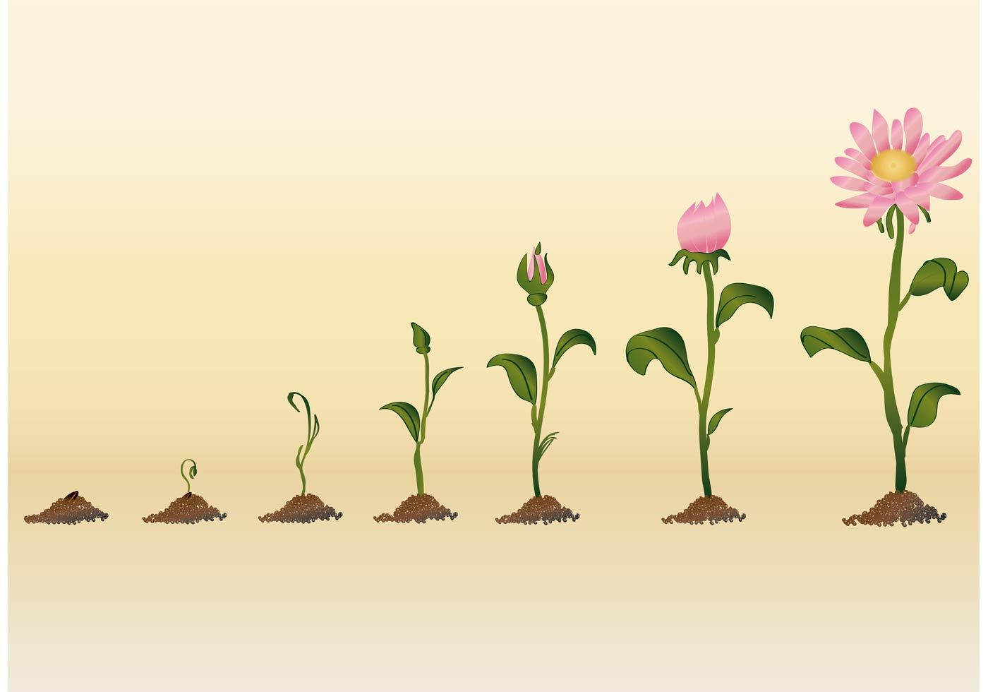 Resultado de imagen de crecimiento de una flor