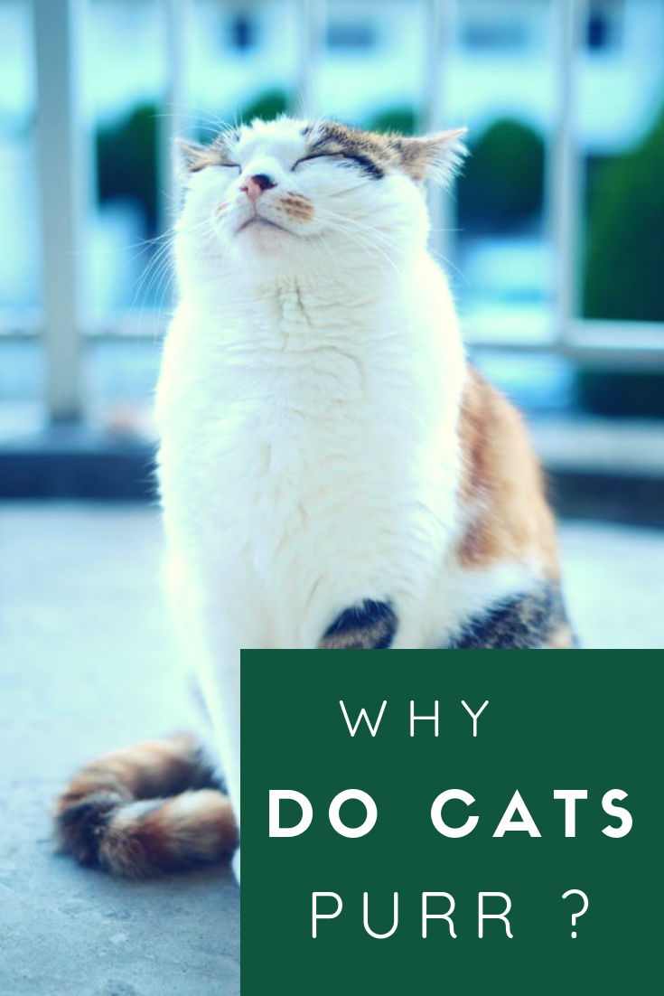 Why Do Cats Purr Why Do Cats Purr Cat Purr Cats