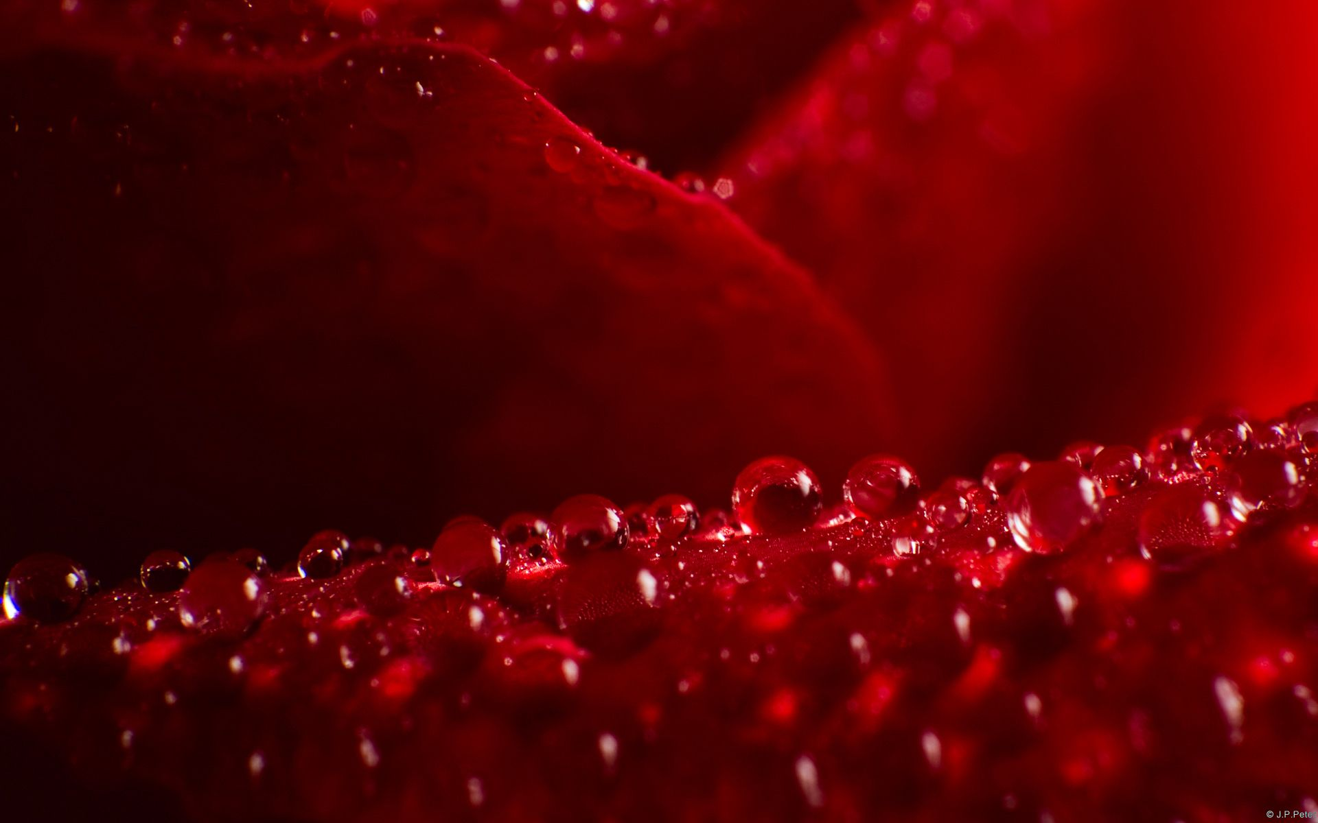 Hd wallpaper red rose - Wallpapers Red Rose Hd 1920 1200 Red Rose