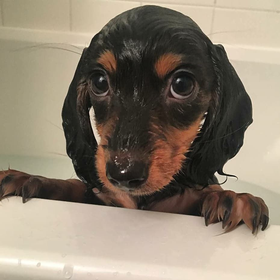 Dachshund Dog Grooming Dog Grooming Pet Grooming Puppy Grooming