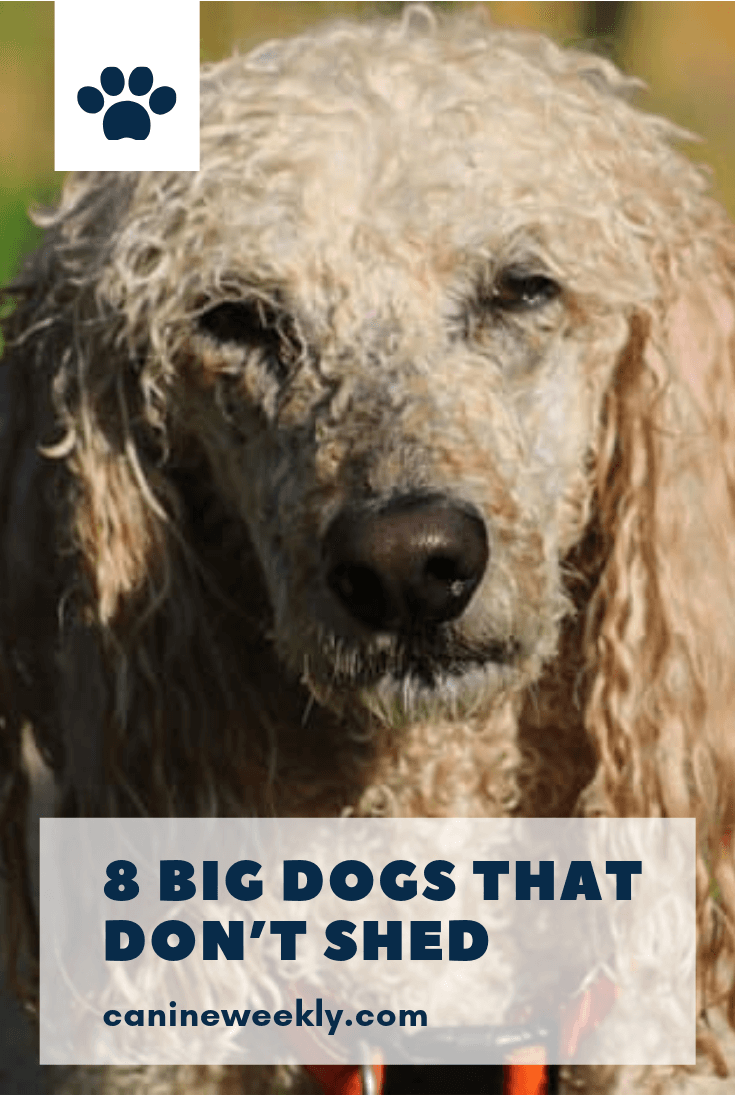 13 Big Dogs That Don T Shed Large Non Shedding Dog Breeds Dog Breeds That Dont Shed Large Dog Breeds Family Dogs Breeds