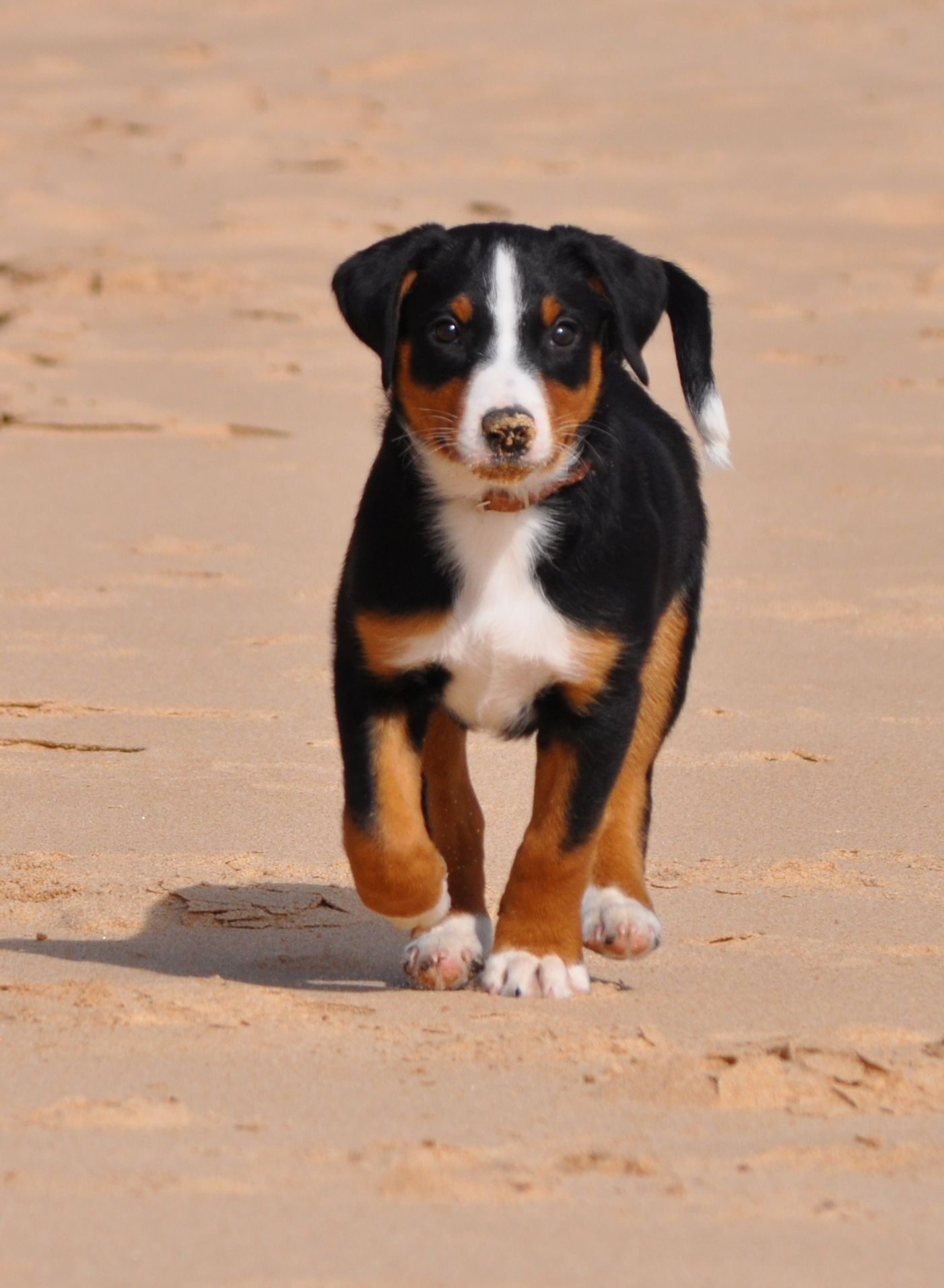 Appenzeller Sennenhund Bouvier Appenzellois Swiss Mountain Dog Entlebucher Mountain Dog Dog Breeds Swiss Mountain Dogs