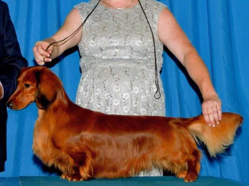 Pramada Kennels Is A Breeder Of Standard Longhair Dachshunds And Affenpinschers We Are Located In The Northern California Bay Affenpinscher Dog Akc Canine