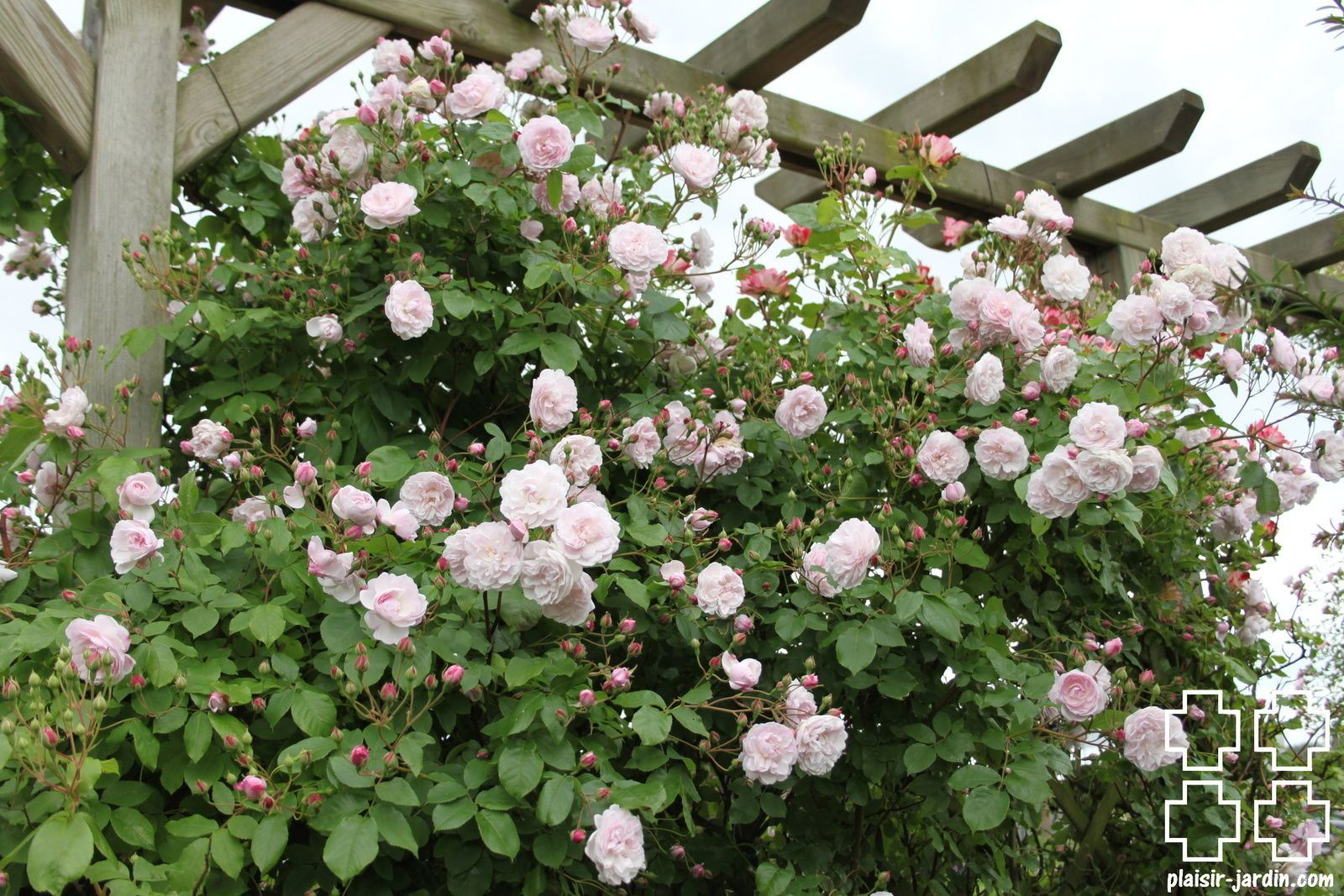 Le Rosier Blush Noisette In 2020 With Images Rose Plants Garden
