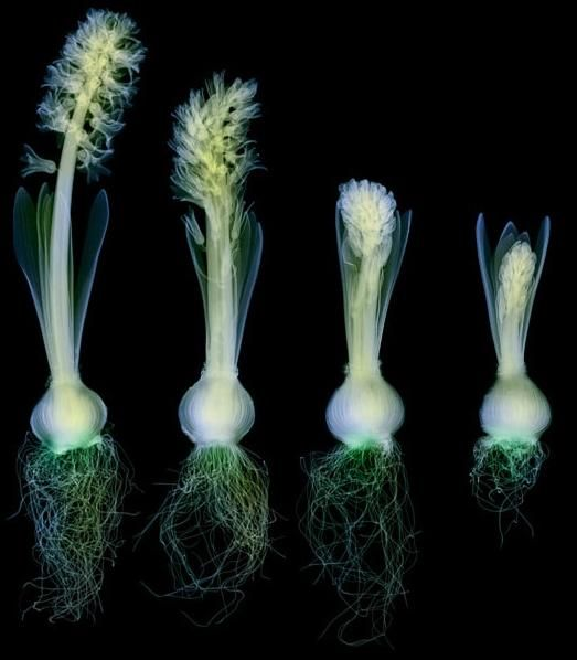 Flowers X-rays (15) 1