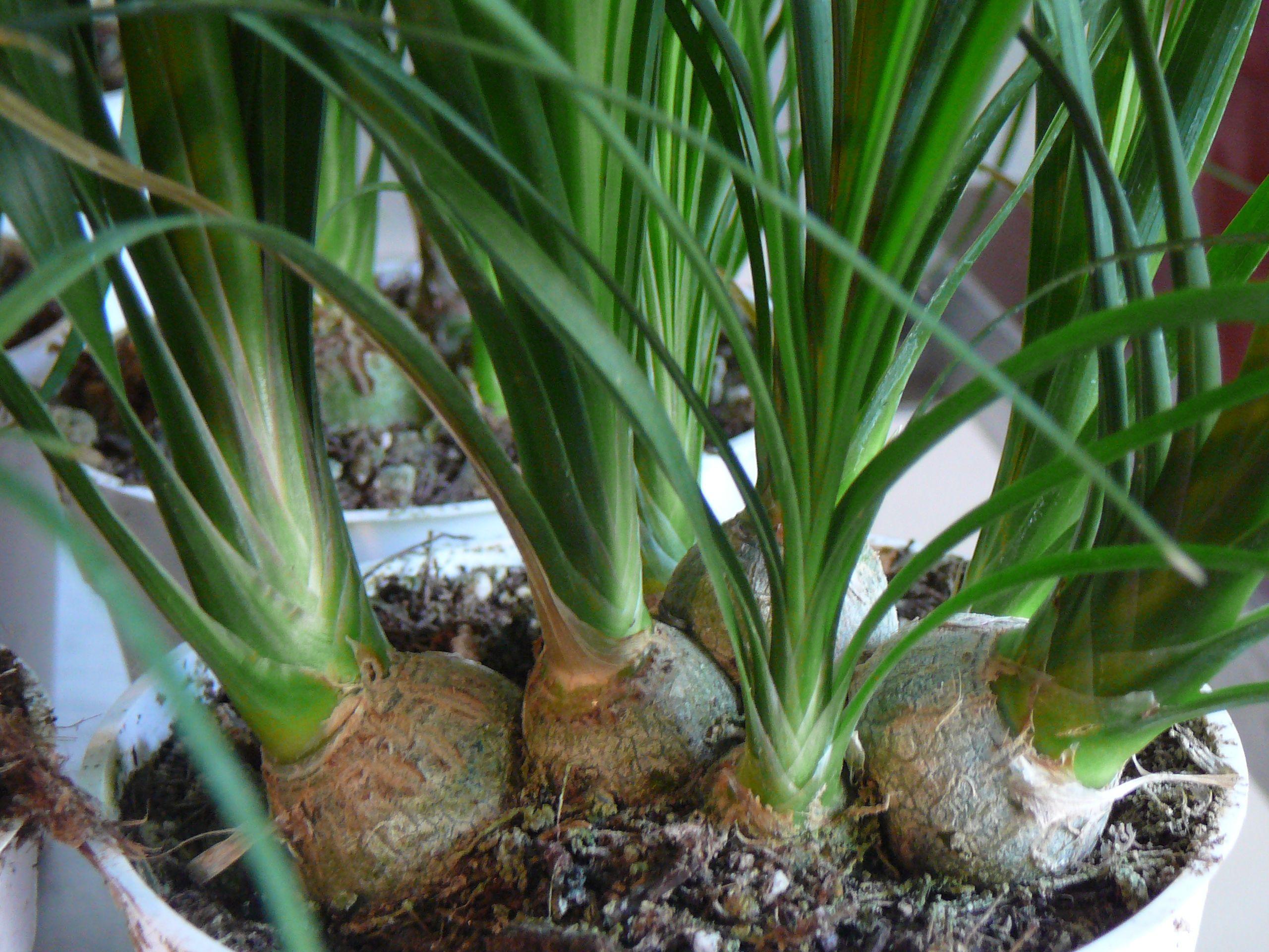 Ponytail Palm U2013 Beaucarnea Recurvata