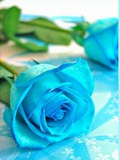 Blue Rose Wallpaper Blue Roses Wallpaper Rose Rose Wallpaper