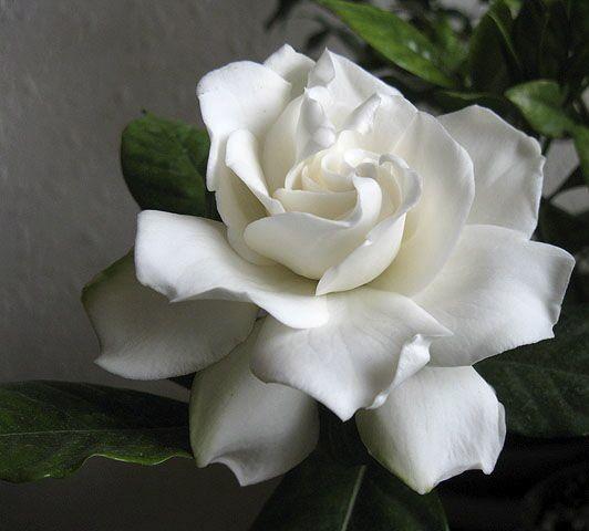 Top 15 most popular wedding flowers gardenia wedding flowers and gardenia wedding flowers meaning transport of joy in season all mightylinksfo