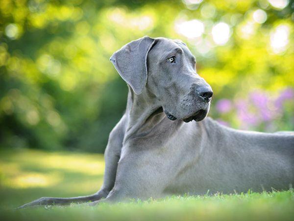 Dantry Danes Paige Blue Great Danes Great Dane Big Dogs
