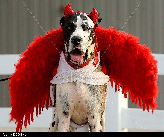 Great Dane Devil Halloween Costume for Dogs! & Conyers Georgia USA. 18th Oct 2013. Great Dane named Czar models ...