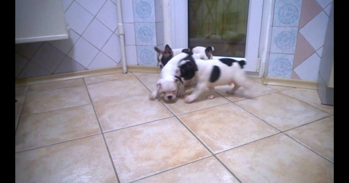 Mini French Bulldogs For Sale In Texas French Bulldog For Sale Bulldog Puppies For Sale Bulldog Puppies