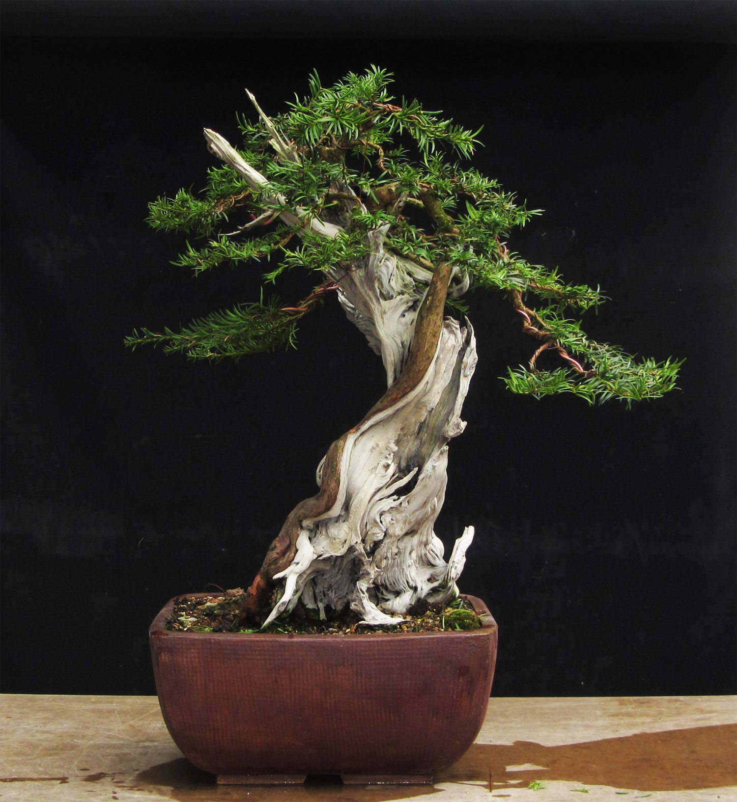 tall bonsai - Google Search