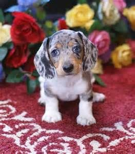 Dapple Dachshund With Blue Eyes Bing Images With Images