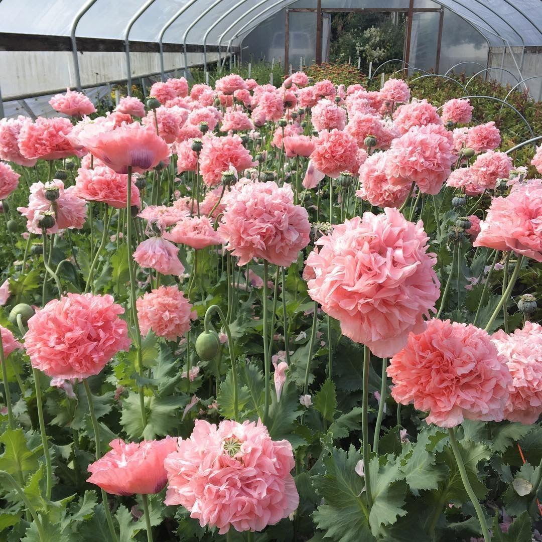 Candy pink poppies 📷 Floret Flower Farm Flower farm