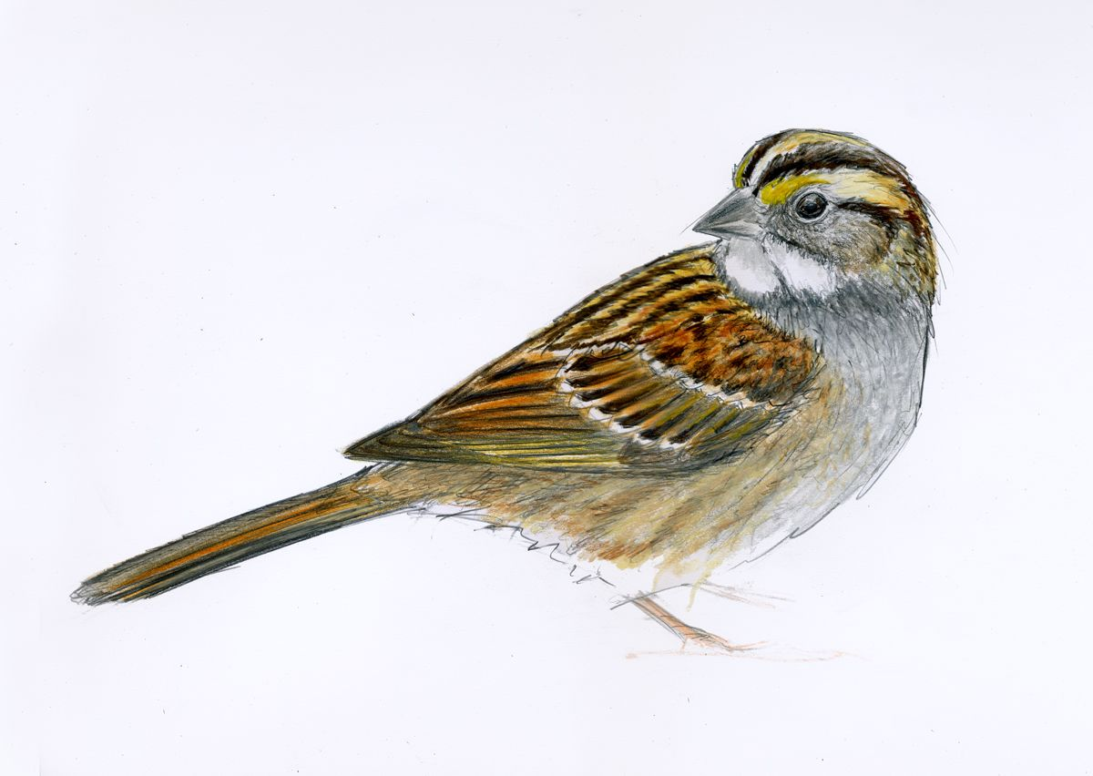 Images For > Sparrow Drawing Pictures | Sketch ...