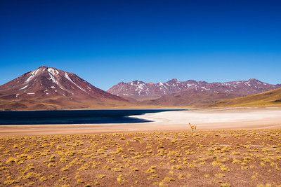 Chile; Deserto do Atacama; Lagunas Altiplanicas; Laguna Miscanti; Vicuña; 2013