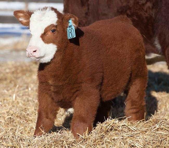 Little Fluffy Calf Cute Animals Cute Baby Cow Fluffy Cows