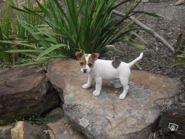 Miniature Jack Russell Jack Russell X Mini Foxy Puppies