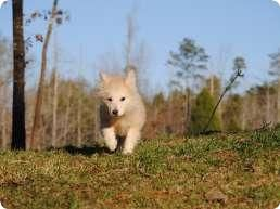 Wolf Hybrid Puppies | Wolf Hybrid Puppies for Sale | Wolf