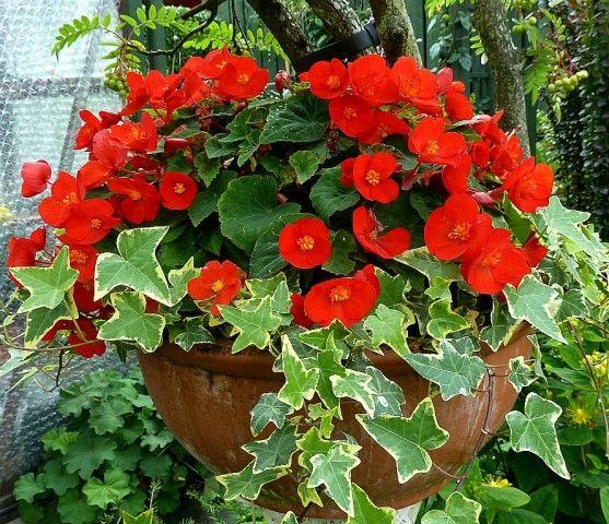 Begonia Flamboyant Begonia Flower Pots Hardy Perennials