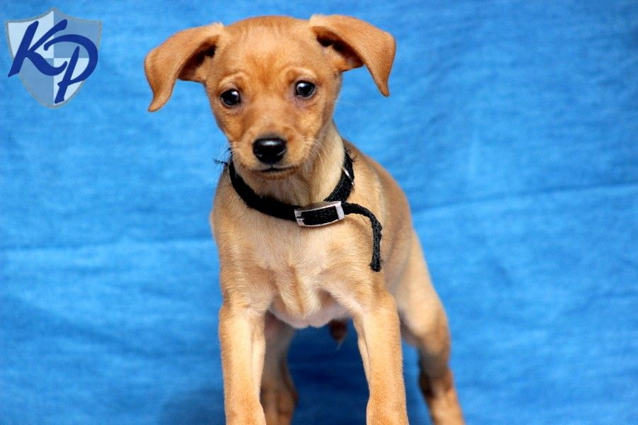 Miniature Pinscher Puppies For Sale In Pa