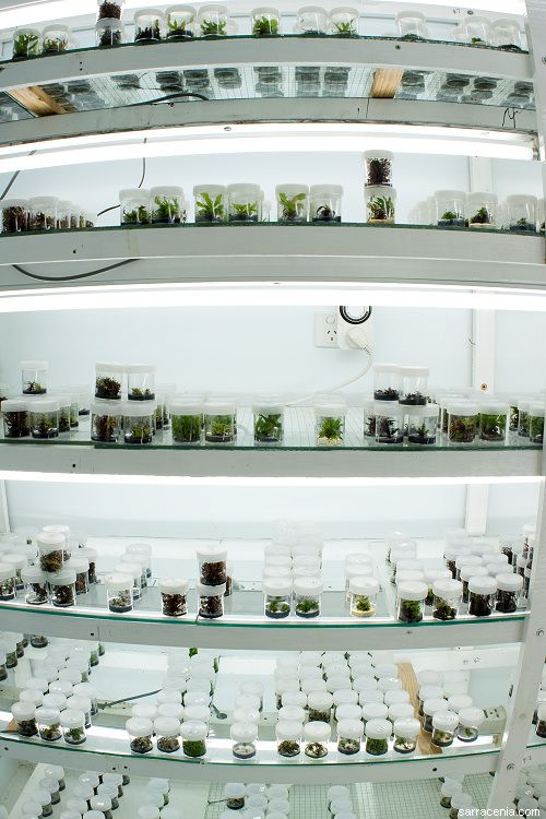 A home tissue culture lab supplying a successful carnivorous