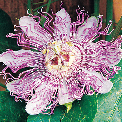 Passionflower Maypops Passion Fruit Flower Berry Plants Fruit Plants