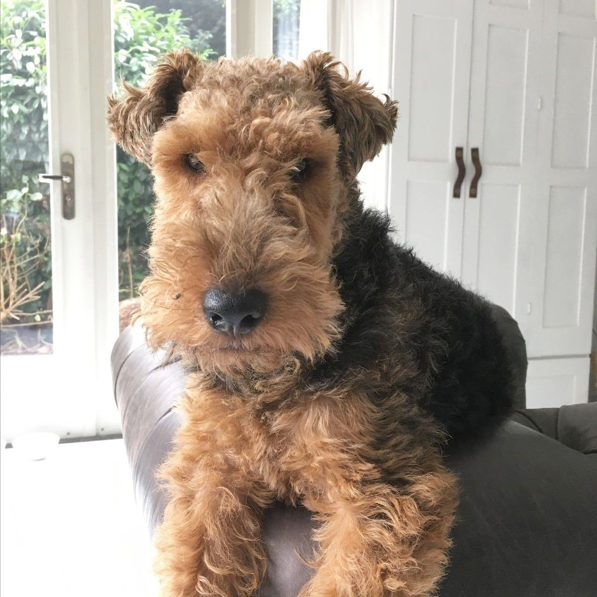 Pin By Kevlar On Dog Airedale Dogs Dogs Family Dogs